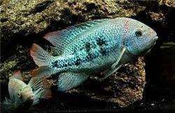 Zonatus Paratheraps Zonatus Fish Wholesaler From Chennai