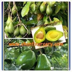 Avocado Fruit Plant H