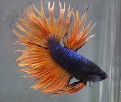 Betta Fishes, Size: 3inch