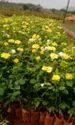Gold Strike Dutch Rose Flower Plants