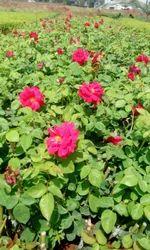 Divine Rose Plants