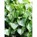 Tinospora Cordifolia - Guduchi Extract