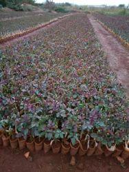 Top, Secret, Dutch Rose Plants