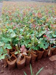 Red Rose Plants