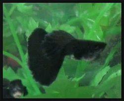 Blackpellet Guppy