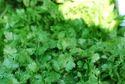 Green Cilantro