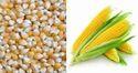 Corn And Maize