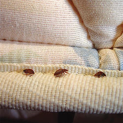 Bed Bugs Treatment Services
