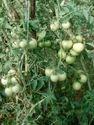 Tulsi  F-1 Hybrid Tomato Seeds