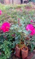 Deshi,open Fild Rose Plants