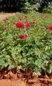 Top Secret Dutch Rose Plants ( Nutal )