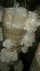 White Mushroom Seed