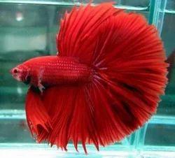Aquarium Exotic Betta Fish