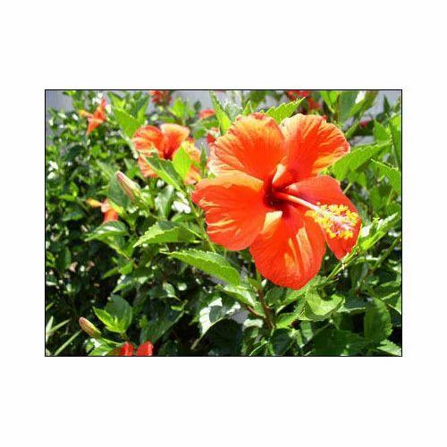 Orange Hibiscus Plant At Rs 40 Piece फलदर पध