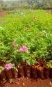 Kashmiri, Rose, Plants