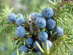 Juniper Fruit Testing Services