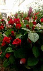 Top Secret Dutch Rose Plans