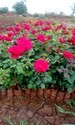 Dutch Rose Plants