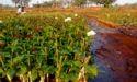 Avilanch, Dutch & Rose Plants