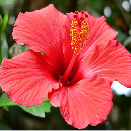 Hibiscus Flower Extract Thangam Extracts Manufacturer In