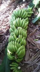 Green fresh bananas