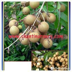 Longan Fruit Plant
