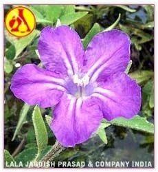 Violet Leaf Absolute Oil