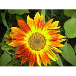 Hybrid Volunteer Sunflower