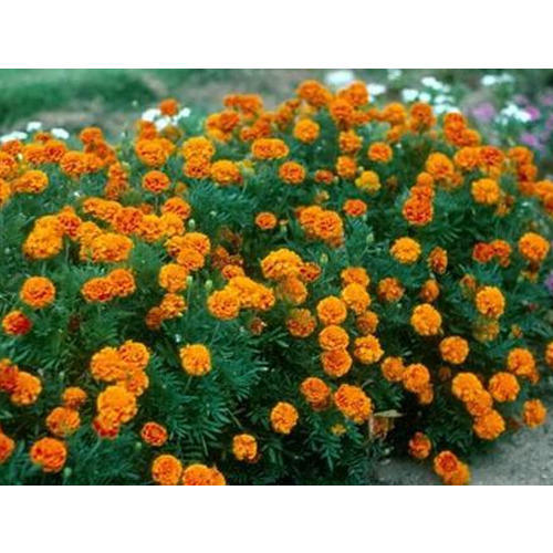 Flower Plants Marigold Plant Manufacturer From Lucknow