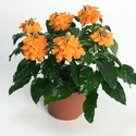 Crossandra -  Fire Crackers Plant