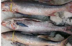 Rawas Fish