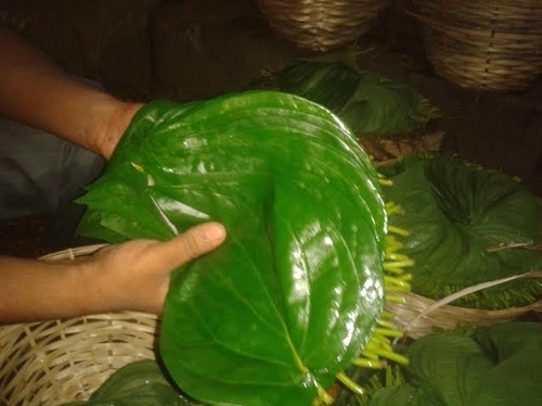 Image result for betel lEAF KERALA
