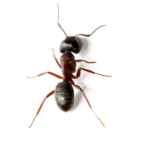 Bed Bugs Pest Control Bed Bugs Control In Tidke Colony Nashik