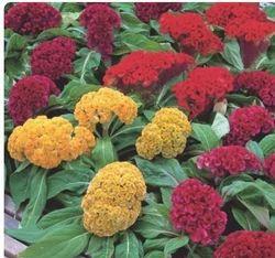 Cookscomb Flowers