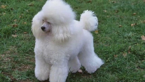 Dog Toy Poodle Male Puppies For Sell In Golden Color At Rs -5552