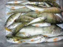 Fresh (Rahu, Katla) Water Fish