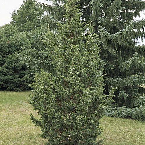 Juniper Plant At Rs 20 Piece S