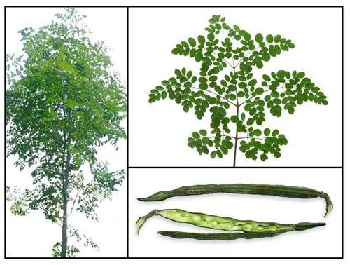 Image result for सहजन (Moringa/Drumstick Tree)