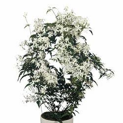 Jasminum Plant