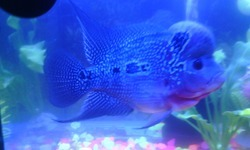 Flower Horn Fish, Size: 3 Inch