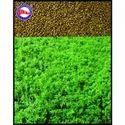 Lucern Seeds (Alfalfa Seeds)