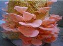 Fresh Organic Oyster Mushroom