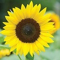 Hybrid Sunflower