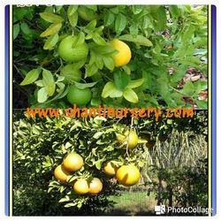 Sweet Orange Mousambi Fruit Plant