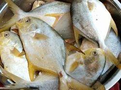 Champa Fish