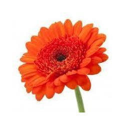 Fresh Gerbera Flower At Rs 70 Pack S Fresh Flower Id 10730670612