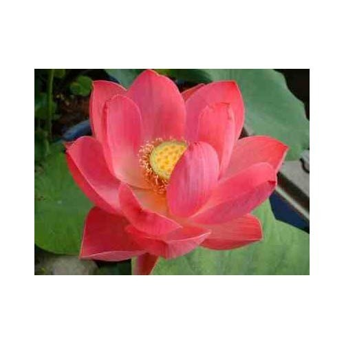Lotus Flower In Tamilnadu Flowers Healthy