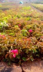 Bougainvillea Plants in Small Bag