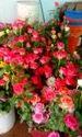Carwhety Dutch Roses
