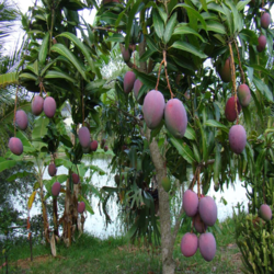 Purple Mango Plants